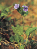 Close-Up of a Creeping Forget-Me-Not Plant (Omphalodes Verna) Photographic Print by E. Martini