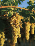 Close-Up of Bunches of Grapes in a Vineyard, Tavoliere, Puglia, Italy Photographic Print by R. Carnovalini