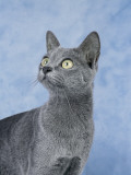 Close-Up of a Korat Cat Photographic Print by D. Robotti