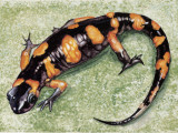Close-Up of a Salamander (European Fire Salamander) Photographic Print