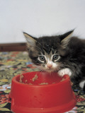 Close-Up of a Kitten Eating in a Bowl Photographic Print by D. Robotti