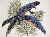 Close-Up of Two Alpine Newts (Triturus Alpestris) Photographic Print