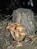 Close-Up of Honey Fungus Mushrooms (Armillaria Mellea) Photographic Print by P. Puccinelli