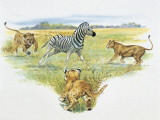 Two Lionesses (Felis Leo) with a Lion Cub Pouncing on a Zebra (Burchell&#39;s Zebra) in a Grassland Photographic Print