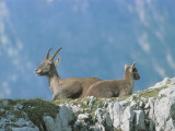 Low Angle View of Two Alpine Ibexes, Jof Di Montasio, Friuli-Venezia Giulia, Italy (Capra Ibex) Photographic Print by R. Carnovalini