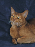 Close-Up of a Red Abyssinian Cat Photographic Print by D. Robotti