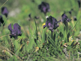Close-Up of Dwarf Iris Flowers (Iris Chamaeiris) Photographic Print by R. Carnovalini