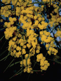 Close-Up of Flowers on Silver Wattle Tree (Acacia Dealbata) Photographic Print by R. Carnovalini