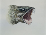 Close-Up of an Eurasian Nightjar (Caprimulgus Europaeus) Photographic Print