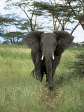 African Elephant Walking in the Forest, Serengeti National Park, Tanzania (Loxodonta Africana) Photographic Print by De Agostini