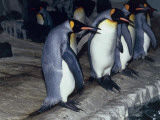 Group of King Penguins (Aptenodytes Patagonicus) Photographic Print by C. Dani I. Jeske