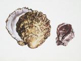 Saddle Oyster (Anomia Ephippium), Illustration Photographic Print