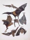 Various Animals of the Bat Family Photographic Print