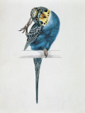 Close-Up of a Budgerigar Perching on a Branch and Scratching its Head (Melopsittacus Undulatus) Photographic Print