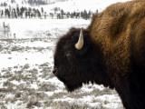 Close Up of a Buffalo in Yellowstone National Park Photographic Print by Chris Teso