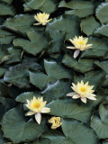 High Angle View of White Lotus in a Pond, Alto Adige, Italy (Nymphaea Alba) Photographic Print by R. Carnovalini
