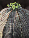 Close-Up of a Baseball Plant (Euphorbia Obesa) Photographic Print by C. Dani
