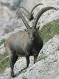 Two Alpine Ibexes on a Mountain, Jof Di Montasio, Friuli-Venezia Giulia, Italy (Capra Ibex) Photographic Print by R. Carnovalini