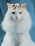 Close-Up of a Turkish Van Cat Photographic Print by D. Robotti