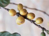 Close-Up of Coffee Beans on a Plant Photographic Print by R. Sacco
