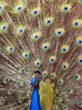 Florida, West Palm Beach, a Peacock Shows Off His Plumage Photographic Print by Bruce Bennett