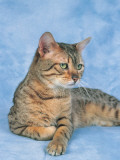 Close-Up of a Bronze Egyptian Mau Cat Photographic Print by D. Robotti