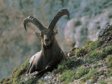 Close-Up of an Alpine Ibex, Jof Di Montasio, Friuli-Venezia Giulia, Italy (Capra Ibex) Photographic Print by R. Carnovalini