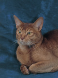 Close-Up of a Sorrel Abyssinian Cat Photographic Print by D. Robotti