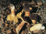 Close-Up of Black Porcino Mushrooms (Boletus Aereus) Photographic Print by P. Puccinelli