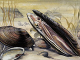 European Pearly Mussels in Water (Margaritifera Margaritifera) Photographic Print