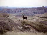 Badlands South Dakota Deer Photographic Print by Chris Teso