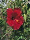 Close-Up of a Red Hibiscus Flower Photographic Print by A. Curzi