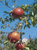 Low Angle View of Pomegranates on a Tree (Punica Granatum) Photographic Print by C. Delu