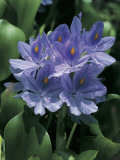 Close-Up of a Water Hyacinth Flowers (Eichhornia Crassipes) Photographic Print by C. Dani I. Jeske