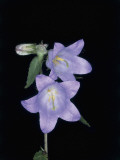 Close-Up of Giant Bellflowers (Campanula Latifolia) Photographic Print by M. Giovanoli