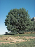 European Ash on a Landscape (Fraxinus Excelsior) Photographic Print by A. Laurenti