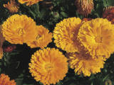 High Angle View of Pot Marigold Flowers (Calendula Officinalis) Photographic Print by A. Moreschi