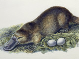 Close-Up of a Female Duck-Billed Platypus with Two Eggs (Ornithorhynchus Anatinus) Photographic Print