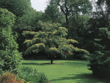 Giant Dogwood Tree in a Garden (Cornus Controversa), Arboretum Kalmthout, Kalmthout, Belgium Photographic Print by F. Carassale