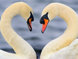 Love Swans Photographic Print by Darren Stone