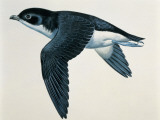 Close-Up of a Common Diving-Petrel Flying (Pelecanoides Urinatrix) Photographie