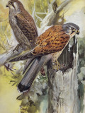 Two Common Kestrel Perching on a Tree Stump (Falco Tinnunculus) Photographic Print