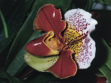 Close-Up of a Lady's Slipper Orchid (Paphiopedilum) Photographic Print by C. Dani I. Jeske