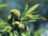 Close-Up of Almonds (Prunus Dulcis) Photographic Print by R. Sacco
