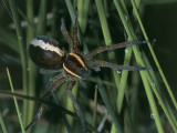 Raft Spider on the Grass (Dolomedes Fimbriatus) Fotografie-Druck von Christian Ricci