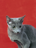 Close-Up of a Russian Blue Cat Photographie par D. Robotti