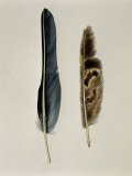 Close-Up of a Cinereous Vulture's Feather with an Owl's Feather Photographic Print