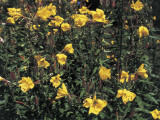Close-Up of Common Evening Primrose Plants (Oenothera Biennis) Photographic Print by C. Delu