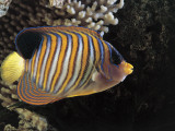 Close-Up of a Royal Angelfish Swimming Underwater (Pygoplites Diacanthus) Photographic Print by C. Dani