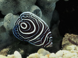 Close-Up of an Emperor Angelfish Swimming Underwater, (Pomacanthus Imperator) Photographic Print by C. Dani